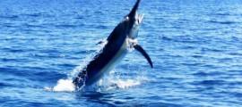 Black Marlin im Sprung
