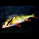 Those colours perch perch perchfishing barsch barschangeln hardbait wobbler dichtamfischhellip