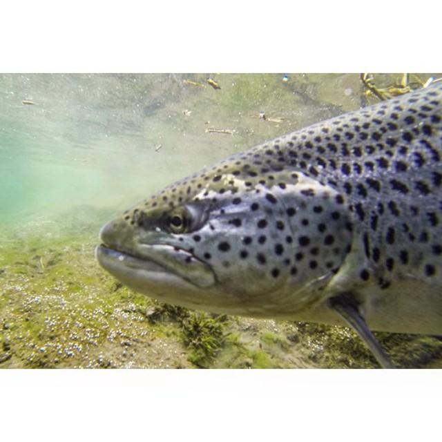 Nice trout on its way home dichtamfisch troutfishing underwater fishpichellip
