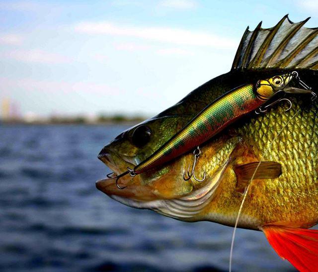 Barsch nahrung merkmale standpl tze dicht am fisch for Fisch barsch