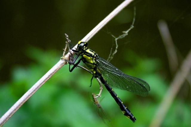 Libelle in Wassernähe
