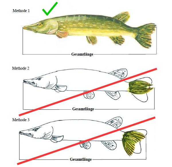 Fische richtig messen