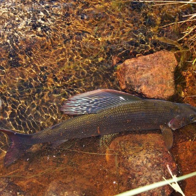 Beauty! Im Juli gehts wieder nach Lappland dichtamfisch sche greylinghellip