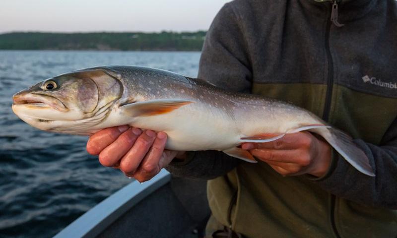 Langsam wachsender Fisch: Seesaibling aus dem Vättern