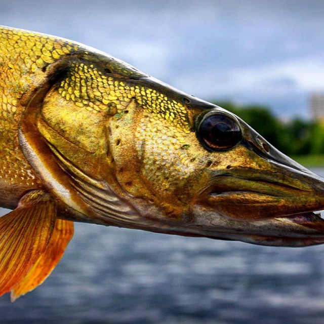 Beauty! dichtamfisch pike esox hecht golden goldfisch pikefishing