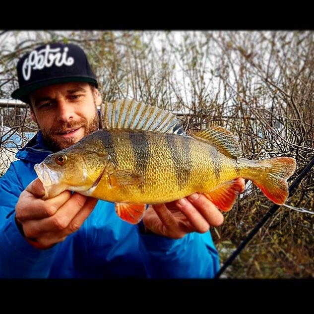 Golden perch beauty dichtamfisch petrischnescap dafstuff petristyle barsch bass flussbarschhellip